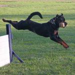 rottweiler jumps