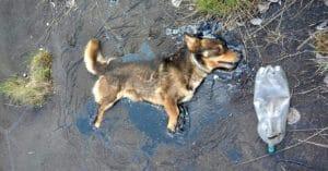 dog-was-stuck-in-tar-sad