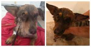 dog-was-stuck-in-tar-healing