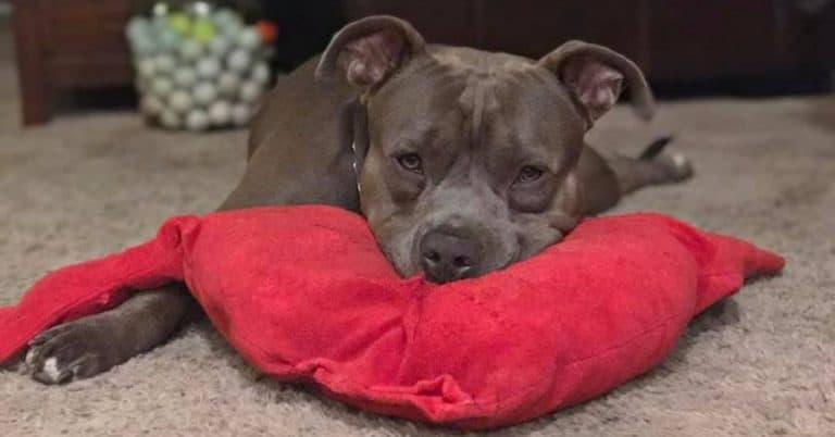 draco-dog-heart-pillow