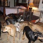 The Voiceless Dogs of Nassau, Bahamas