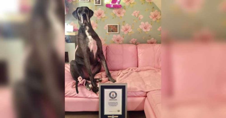 the tallest dog in the world record