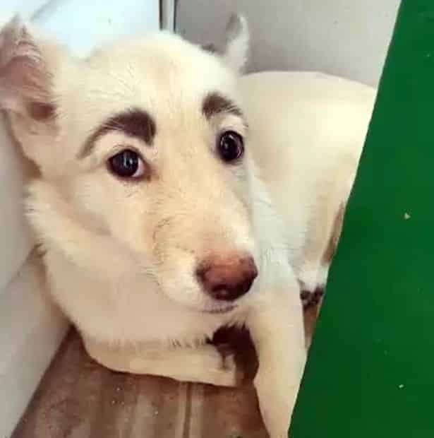 dog with human-like eyebrows