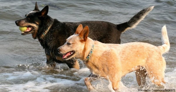 energetic dogs The Australian Cattle Dogs
