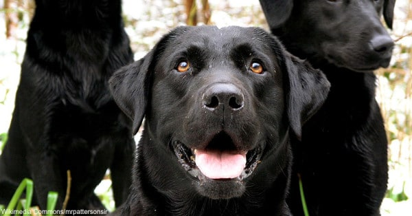 energetic dogs Labrador Retrievers