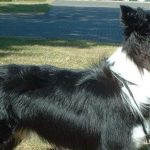 energetic dogs Border Collies