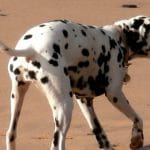 energetic dogs Dalmatians