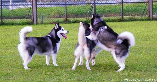 energetic dogs Siberian Husky
