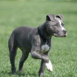 American-Pit-Bull-Terrier_5