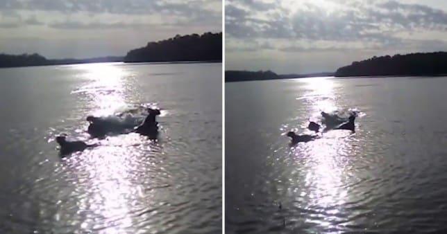 monster crocodile swallows his dog