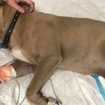 heroic pitbull passes away