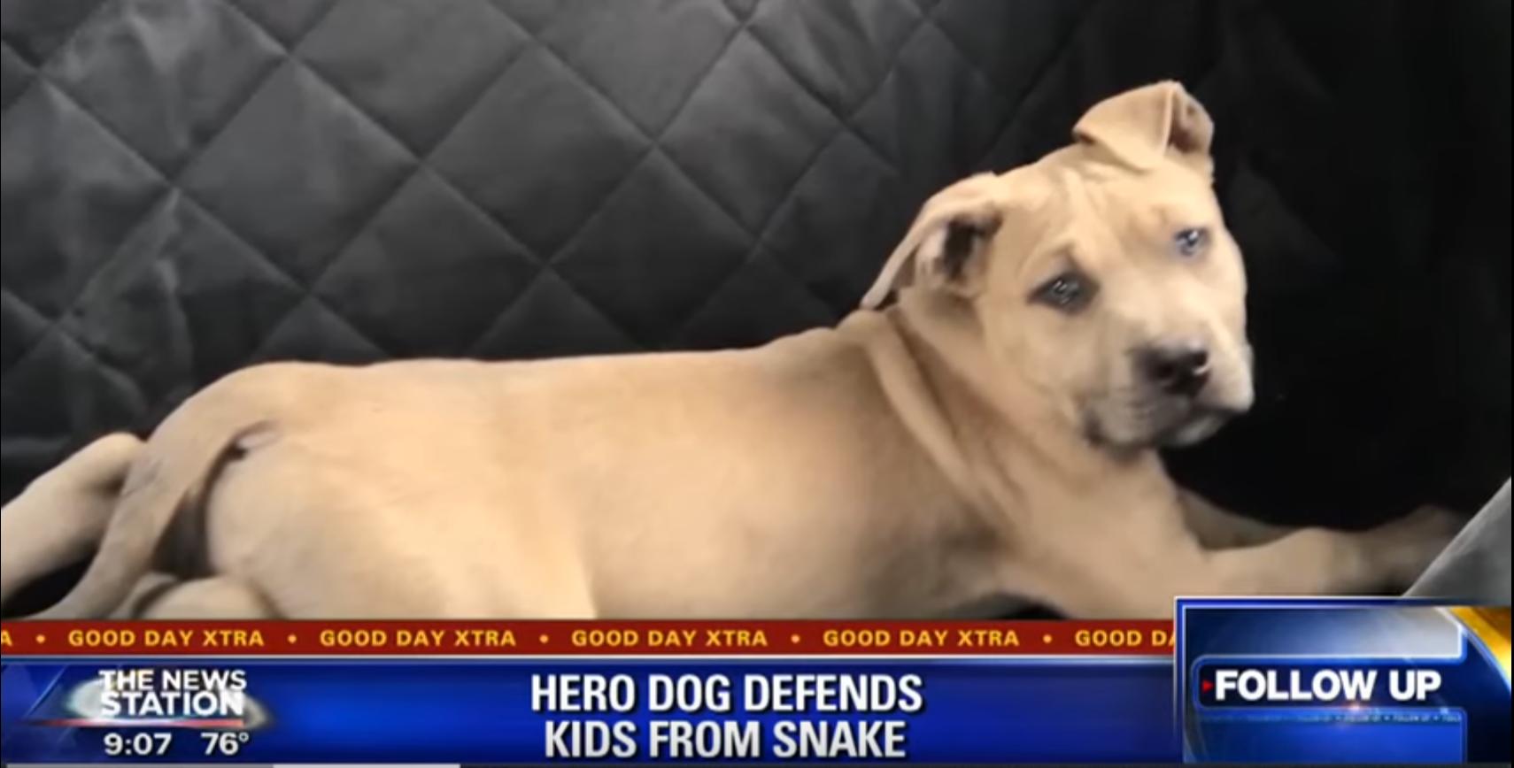 heroic pitbull passes away