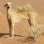 rare breed of dog azawakh