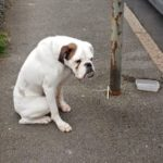 boxer-chained-to-lamppost-1-768×402
