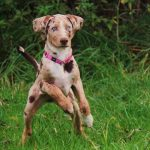 catahoula-leopard-dog_ph