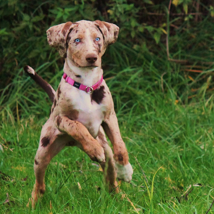 rare breed of dog Catahoula Leopard Dog