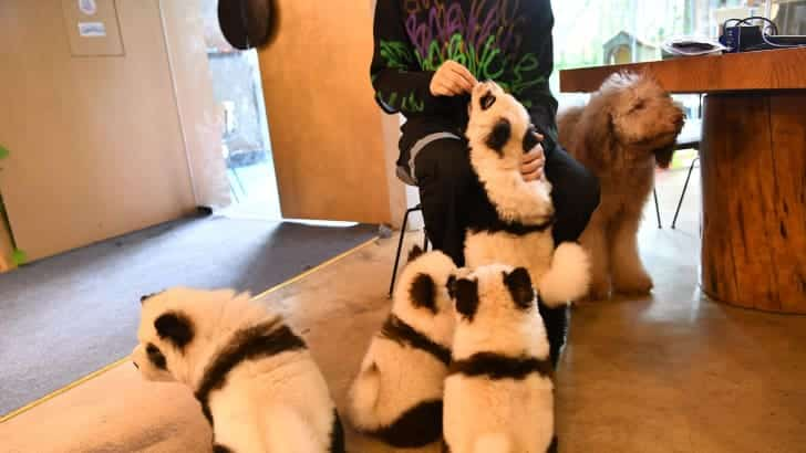 dogs painted like giant pandas