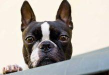 5 small guard dog breeds