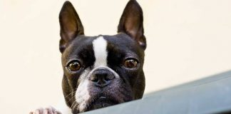 5 small guard dog breeds