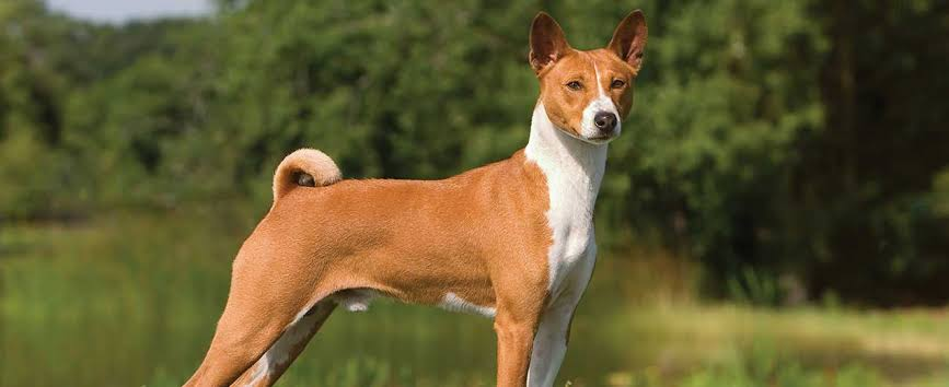 quietest dogs Basenji