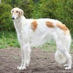quietest dogs borzoi