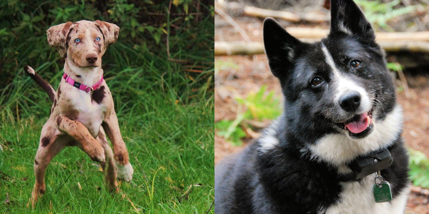 rare breed of dog Thai Ridgeback
