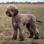 rare breed of dog lagotto romagnolo