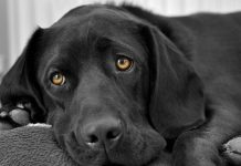 black dog syndrome