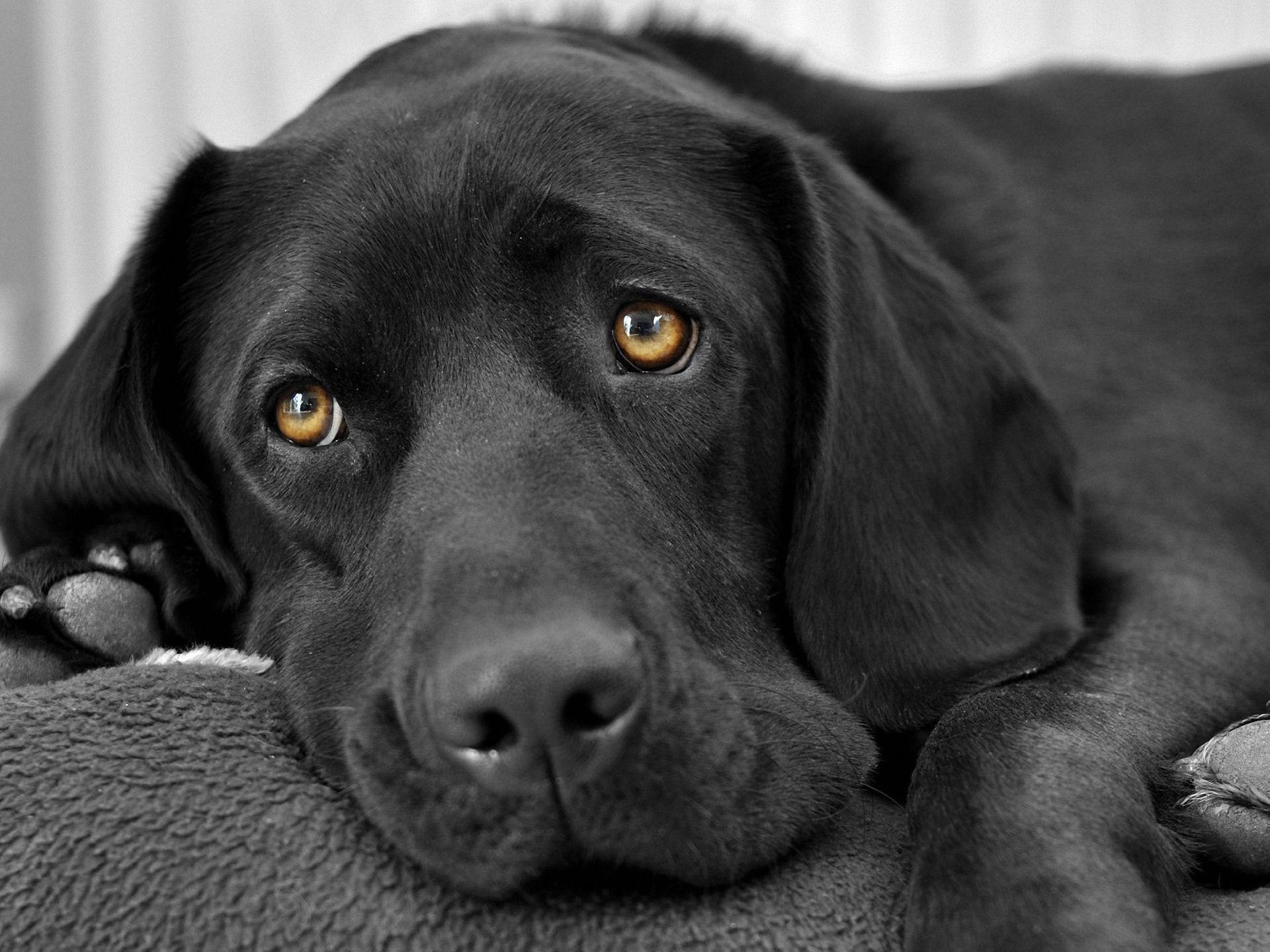 What Is The Black Dog Syndrome And How Does It Make Black Dogs Less Likely  To Be Adopted? - Junk Feeds