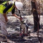 dogs are saving koalas in australia
