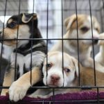smuggled puppies sadly caged