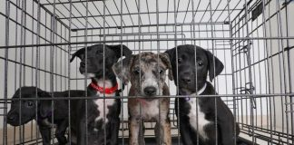 smuggled puppies caged