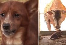inconsolable puppy and mama cow