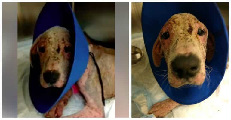 neglected Great Dane was saved