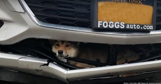 dog lucky stuck in grille