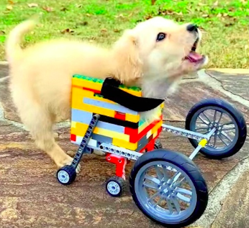 disabled puppy