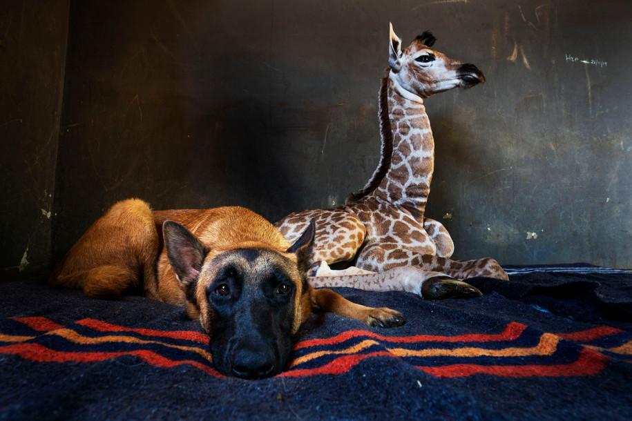 deserted baby giraffe