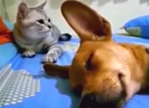 Cat and dog lazying around