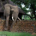 elephant clambers for mangos