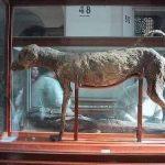 Dog Of The King Amenhotep II