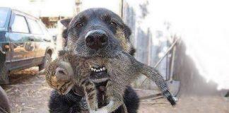 dog rescuing kitten