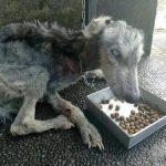 Guy Finds Abandoned Skin and Bones Husky And Helps It Recover 1