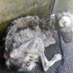 abandoned husky