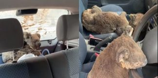 koalas in a car