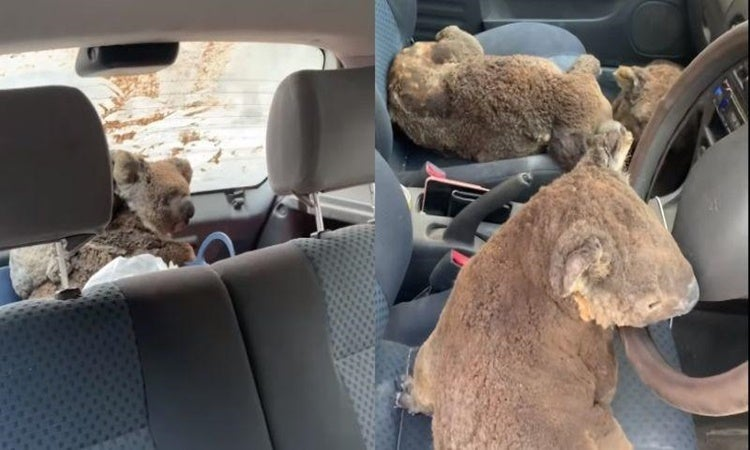 teenagers rescued koalas