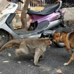 monkey-adopts-puppy-in-india_1