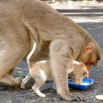 monkey-adopts-puppy-in-india_2