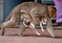 Monkey adopts a puppy
