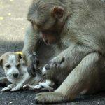 Monkey adopts a puppy
