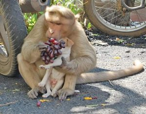 monkey feeds her puppy